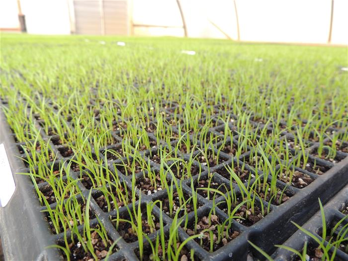 Carex frankii seedlings in germination trays