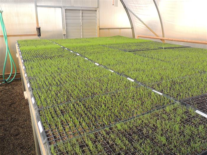 Carex spp. and Glyceria striata seedlings in germination trays