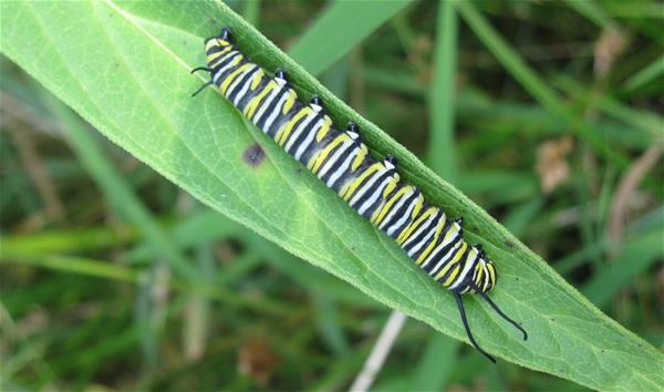 Monarch caterpillar on swamp milkweed leaf