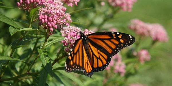 Monarch feeding on a swamp milkweed flower