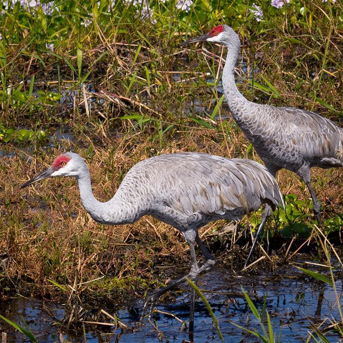 A pair of Sandhill cranes, photographed in Florida, courtesy of Ken Thomas