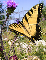 Butterfly on among a native landscape feeding off a flowering plant.
