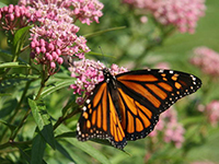 Monarch Butterfly resting and feeding on a native species.