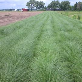 Prairie Dropseed production rows