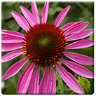 Echinacea_purpurea_broad-leaved_purple_coneflower_2