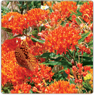 Asclepias-tuberosa---Butterfly-Weed