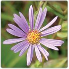 Symphyotrichum-laeve---Smooth-Blue-Aster
