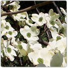 Cornus-florida_Flowering-Dogwood