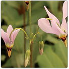 Dodecatheon-meadia---Shooting-Star