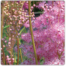 Filipendula-rubra---Queen-of-the-PrairieNEW