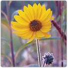 Helianthus-mollis_Downy-Sunflower