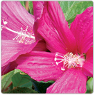 Hibiscus-moscheutos---Swamp-Rose-Mallow-1NEW