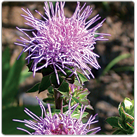 Liatris-aspera---Rough-Blazing-Star
