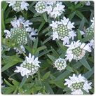 Pycnanthemum-virginianum---Common-Mountain-Mint