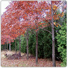 Quercus-rubra_Red-Oak