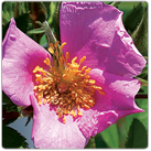 Rosa-palustris---Swamp-Rose