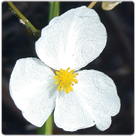 Sagittaria-latifolia---Common-Arrowhead
