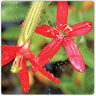 Silene-regia---Royal-Catchfly