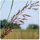 Sorghastrum_nutans_-_Indian_Grass