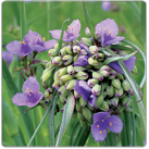 Tradescantia-ohiensis---Common-Spiderwort