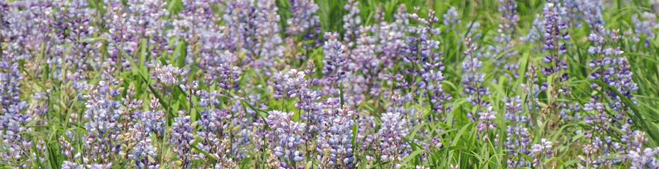 Lupinus perennis production field
